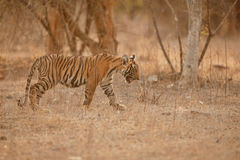 Tiger cub in a beautiful golden light in the nature habitat stock photos