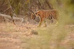 Tiger cub in a beautiful golden light in the nature habitat stock images