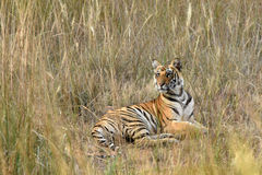 Tiger Cub. A Bengal Tiger cub resting among the tall yellowish grass in Bandhavgarh National Park, India Royalty Free Stock Photos