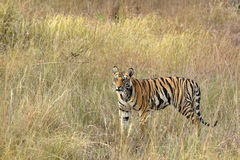 Tiger Cub. A Bengal Tiger cub standing among the tall yellowish grass in Bandhavgarh National Park, India Royalty Free Stock Photography