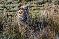 Tiger cub  in game reserve in south africa stock photography