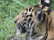 Tiger cub royalty free stock photo