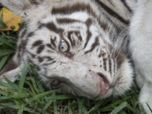 Tiger cub royalty free stock image