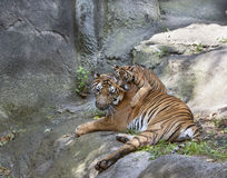 Tiger Cub Chewing Mom's Ear Stock Image