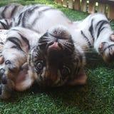 Tiger cub ChiangMai TigerKindom Thailand Royalty Free Stock Photo