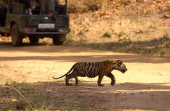 Tiger cub crossing road. This four months old cub of tiger is crossing the jungle road in Bandhavgadh n.p.of India while a jeep awaits Stock Photo