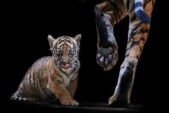 Tiger cub with feets of leaving mother. Isolated small malayan tiger royalty free stock photography