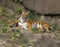 Tiger Cub Gently Pawing Mother Photographie stock libre de droits