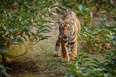 Tiger cub in the green oaza during the dry season. Tiger in the nature habitat. Tiger male walking head on composition. Wildlife scene with danger animal. Hot Stock Photos