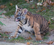 Tiger cub growling. Tiger cub at the National Zoo Stock Image