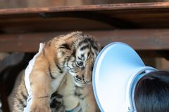 Tiger cub held up high by person, indoors, person in hat, no-recognisable people, mammel cat. A two-week old tiger cub is held by a person, not-recognizable, she stock image