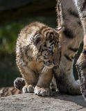 Tiger Cub Stock Images