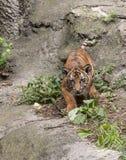 Tiger Cub Intensity Royalty Free Stock Photo