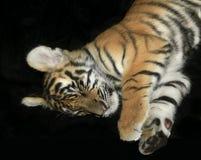 Tiger Cub Isolated durmiente en negro Fotografía de archivo libre de regalías