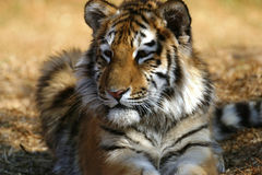Tiger cub laying down Stock Photo