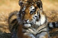 Tiger cub laying down Stock Photo