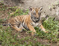 Tiger Cub Laying Down Royalty Free Stock Photo