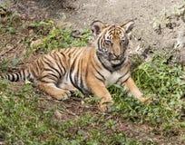Tiger Cub Laying Down Royalty Free Stock Photo