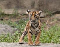 Tiger Cub Looking Puzzled stock foto