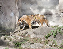 Tiger Cub and Mom Stock Photos