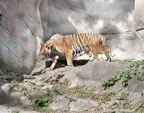 Tiger Cub and Mom Stock Photos