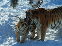Tiger and cub Royalty Free Stock Images
