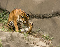 Tiger Cub and Mom Playing Stock Photos