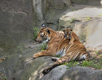 Tiger Cub on Mom's Back Stock Photography