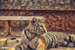 Tiger Cub with Monk. Young tame tiger in famous Tiger Temple in Kanchanaburi, Thailand Royalty Free Stock Photos