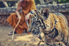 Tiger Cub with Monk. Young tame tiger in famous Tiger Temple in Kanchanaburi, Thailand Royalty Free Stock Photo