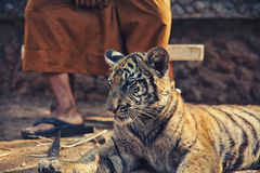 Tiger Cub with Monk. Young tame tiger in famous Tiger Temple in Kanchanaburi, Thailand Royalty Free Stock Image