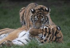 Tiger cub and mother. Cute baby tiger stock image