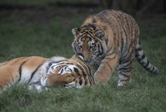 Tiger cub and mother. Cute baby tiger royalty free stock photos