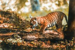 Tiger cub from Paignton Zoo. royalty free stock images