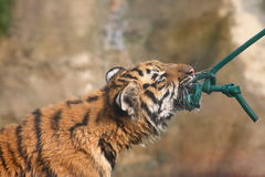 Tiger cub at play Stock Photos