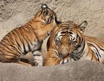 Tiger Cub Playing med mamman Arkivfoto