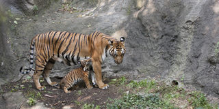 Tiger and Cub Playing Royalty Free Stock Image