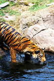 Tiger Cub Stock Images