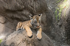 Tiger Cub Portrait Stock Photos