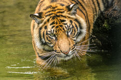 Tiger cub. A Tiger cub prowling in a lake Royalty Free Stock Photo