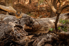 Tiger cub resting in the forest during the dry season. Tiger in the nature habitat. Tiger male walking head on composition. Wildlife scene with danger animal Royalty Free Stock Photo