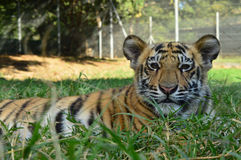 Tiger cub stock photography