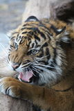 Tiger cub. A Tiger cub roaring whilst he stares Stock Photo