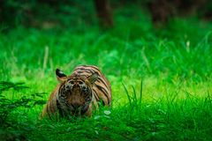 A male tiger cub relaxing in nature when forest converted in a green carpet at ranthambore tiger reserve, India stock photo