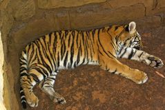 Tiger cub sleeping. Near stones in national park of south africa Stock Images