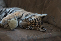 Tiger cub sleeping, time for a nap Royalty Free Stock Photos