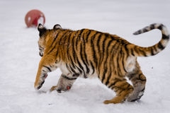 Tiger cub in the snow 3. Tiger cub playing in the late winter snow before going back in to his enclosure at the sanctuary Stock Photo