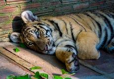 Tiger Cub Sunning en parque zoológico Imagen de archivo libre de regalías