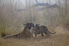 Tiger with cub Stock Image