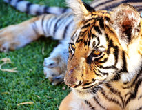 Tiger Cub taking a break Royalty Free Stock Photography